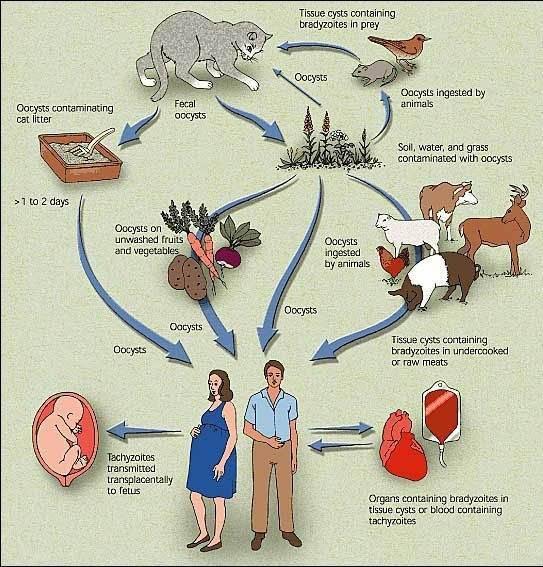 Токсоплазмоз – симптомы и методы лечения заболевания