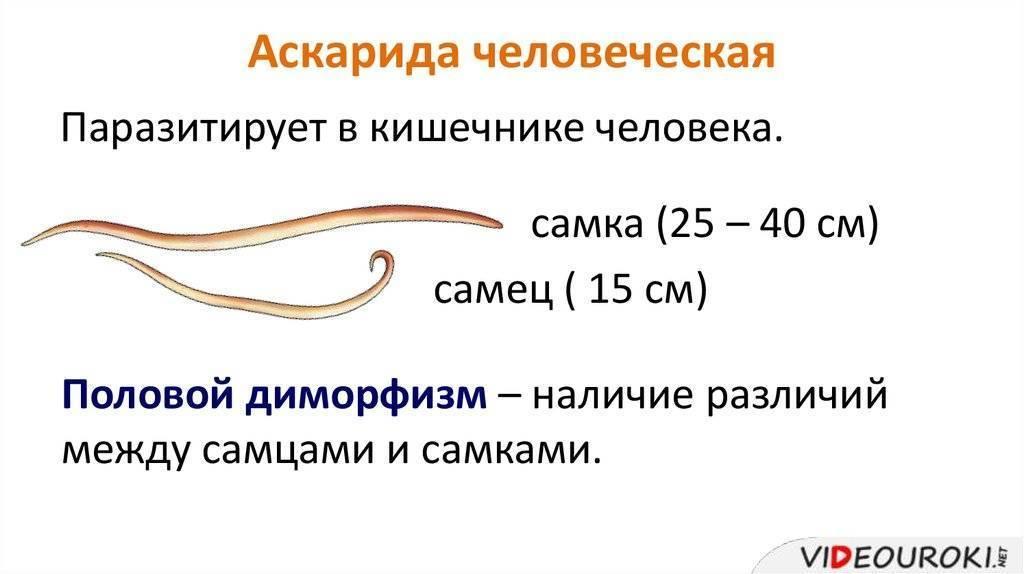 аскаридоз у взрослых