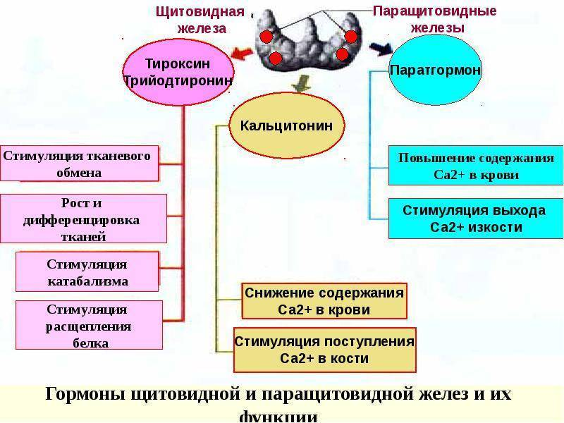 гормоны паращитовидной железы