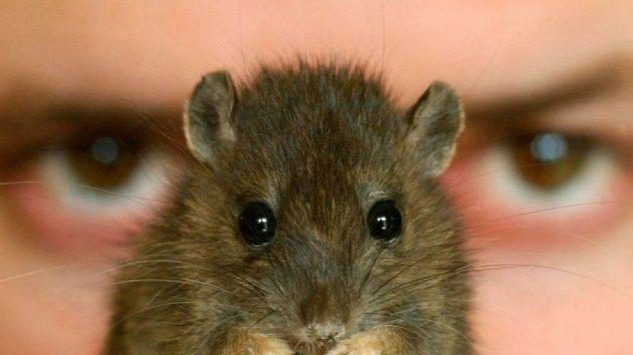 Боязнь мышей и крыс — как называется фобия