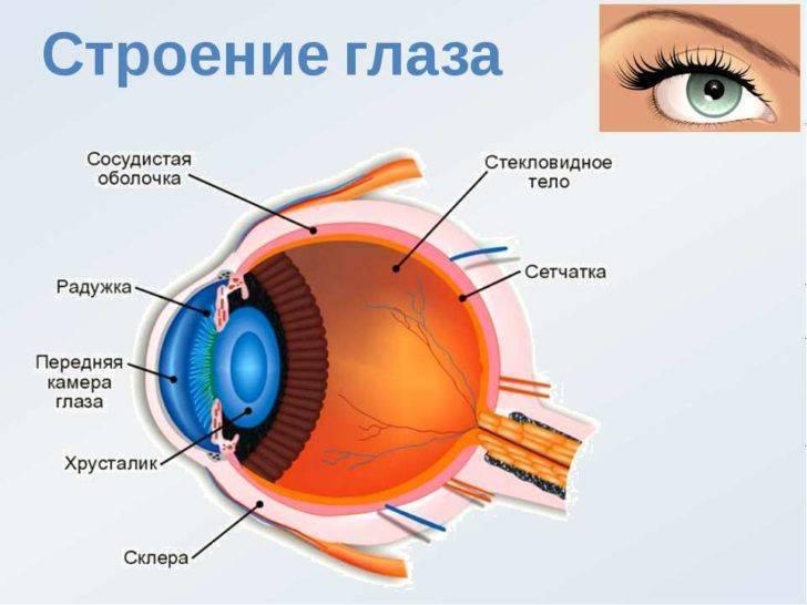 строение органов зрения