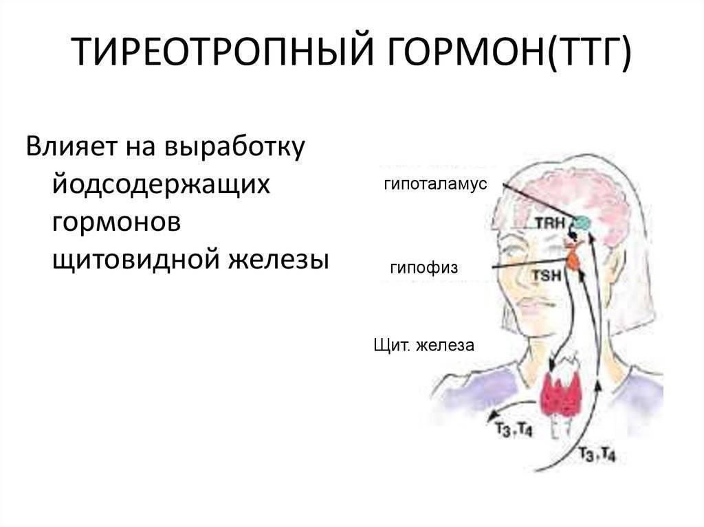 что такое ттг гормон