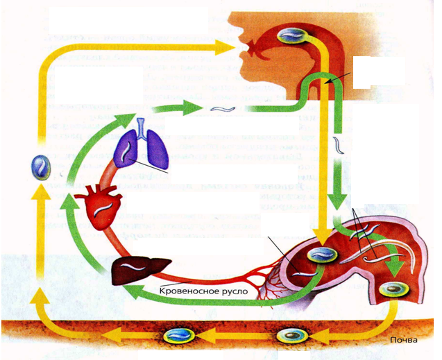 Аскарида человеческая: жизненный цикл, строение, пути заражения