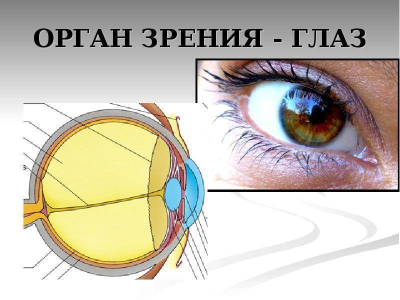 анатомия и физиология органа зрения