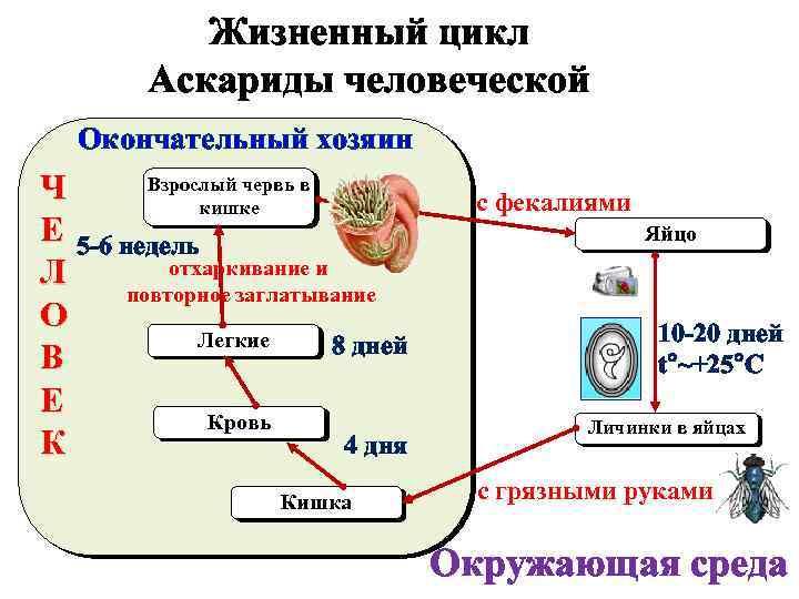 Жизненный цикл аскариды человеческой: пути заражения, клиническая картина