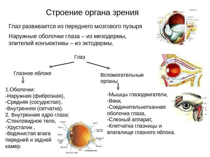 Строение и функции глаза