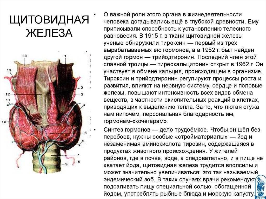 структура щитовидной железы