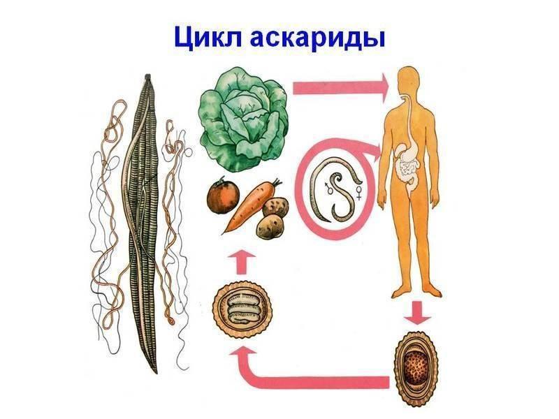 Аскариды у взрослых: симптомы, лечение и профилактика