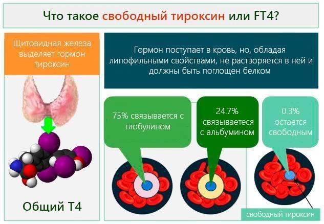 т4 гормон щитовидной железы