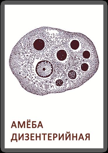 Дизентерийная амеба – как она действует на организм?