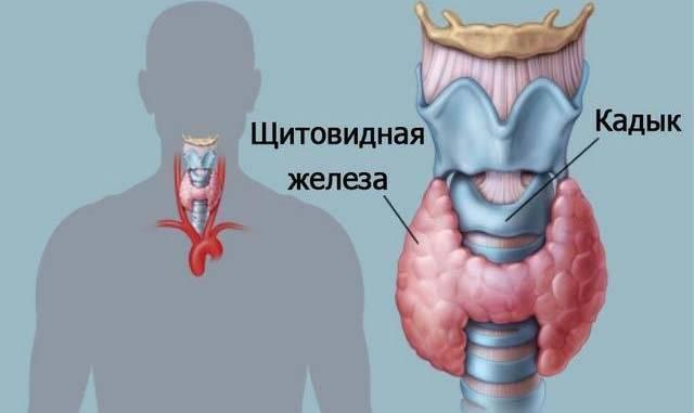 на какие органы влияет щитовидная железа