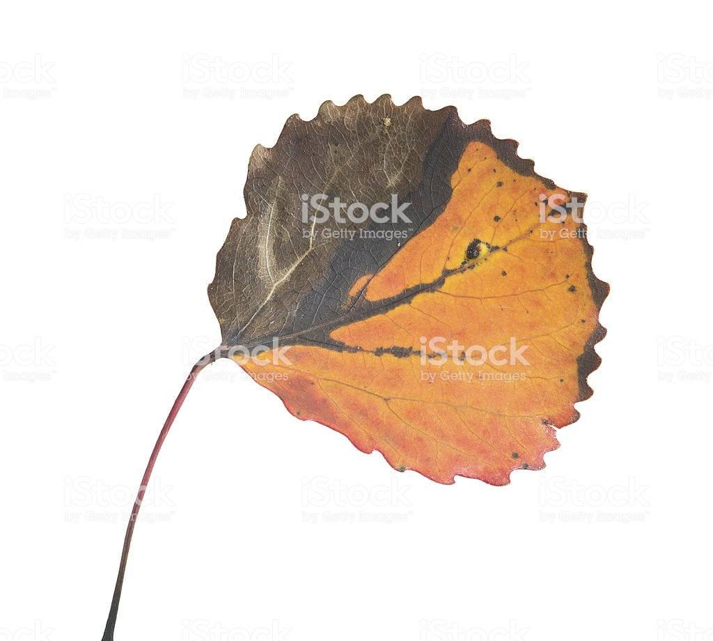 Народный способ лечения геморроя листьями осины