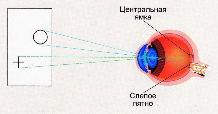 где находится слепое пятно глаза