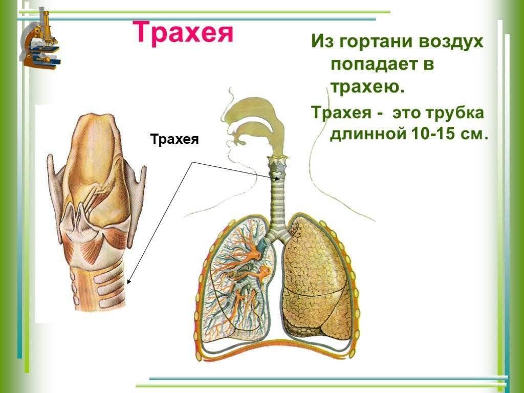Трахея — большая медицинская энциклопедия