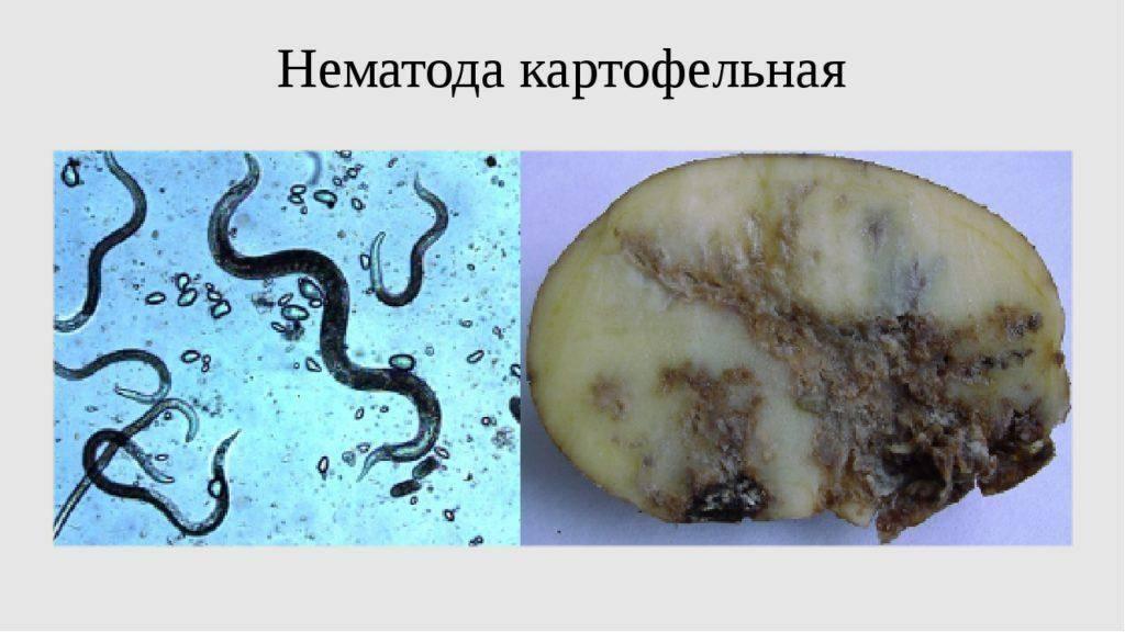 Общая характеристика гельминтов класса нематоды