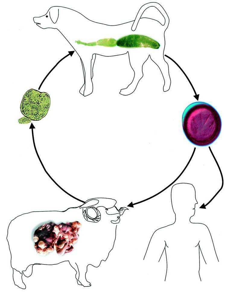 Откуда появляется эхинококкоз и как его вовремя предотвратить
