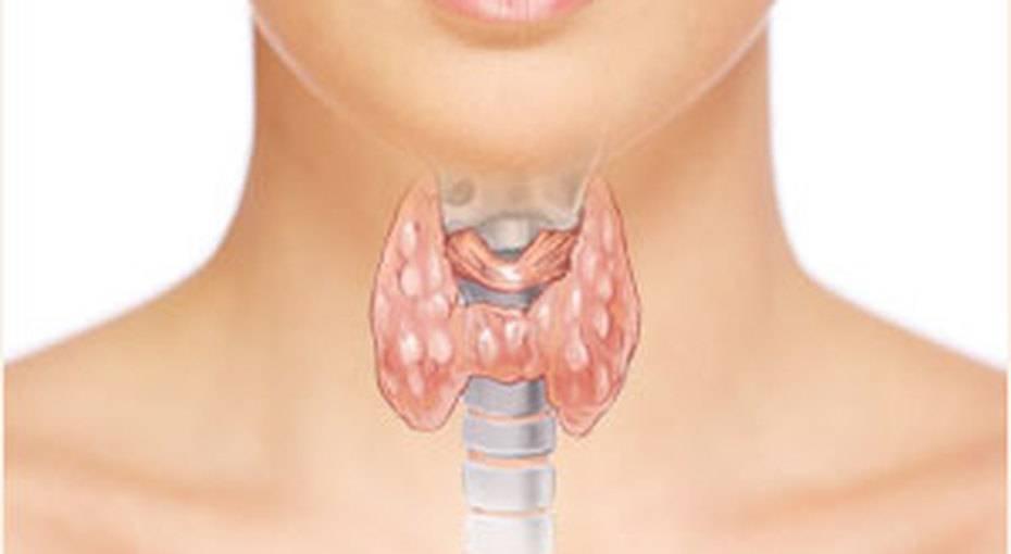 где находиться щитовидка