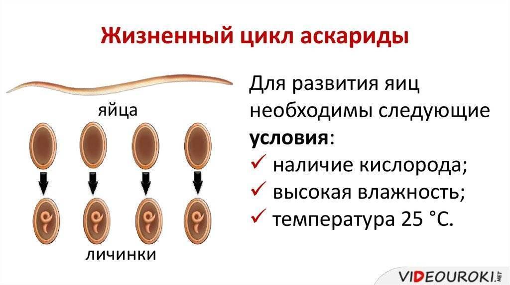 Правильная схема лечения аскаридоза у взрослых