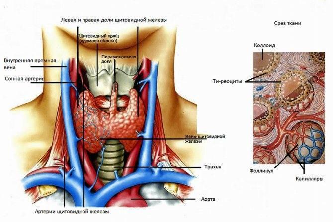 Чем отличаются горячие и холодные узлы в щитовидке и опасны ли они