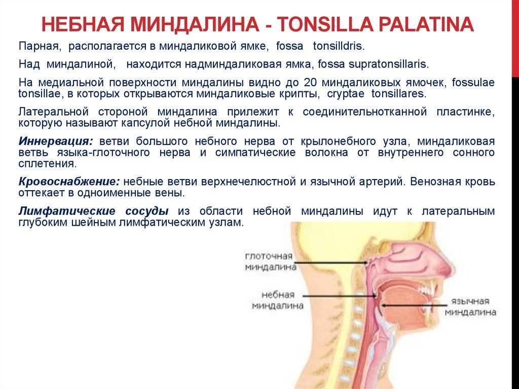 Небные миндалины. где находятся миндалины, анатомия