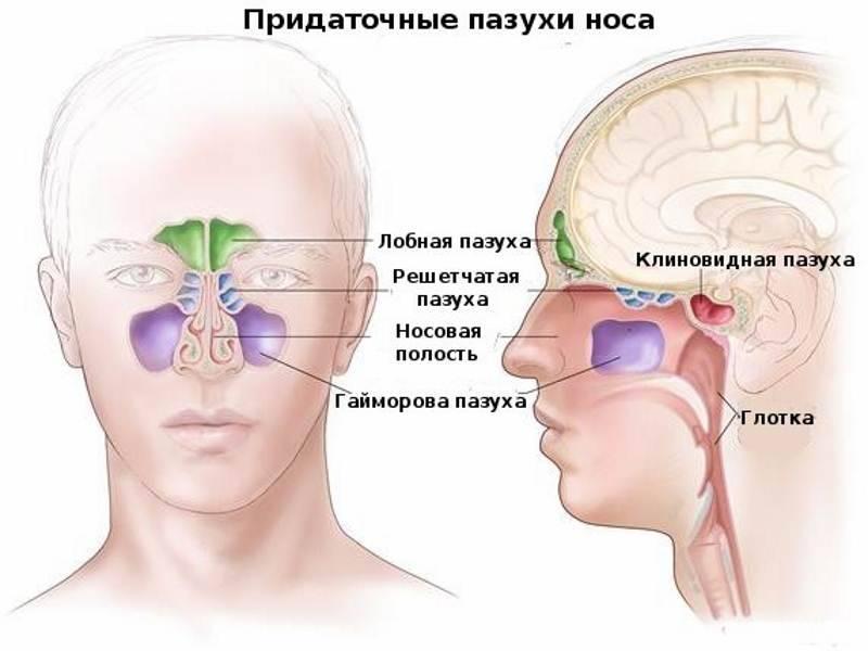 строение носовых пазух человека
