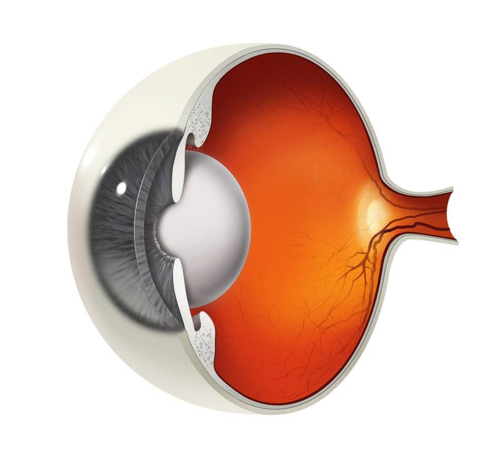 сетчатка глаза функции