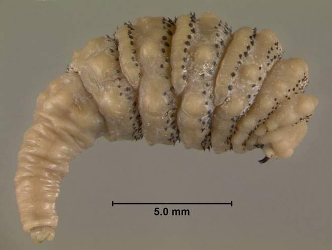 Личинки овода под кожей человека