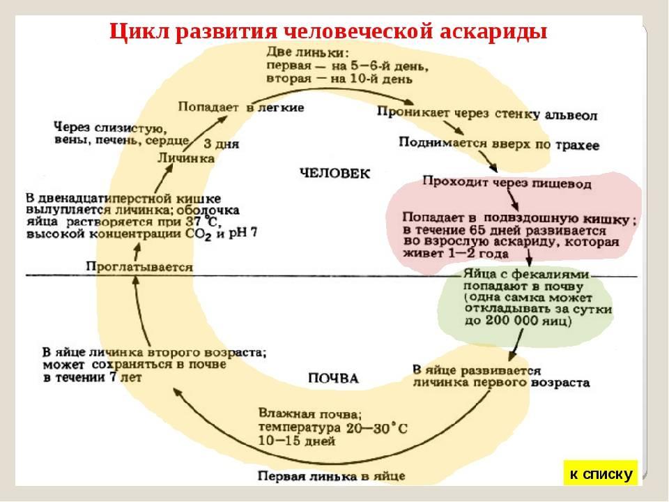 Инкубационный период аскариды