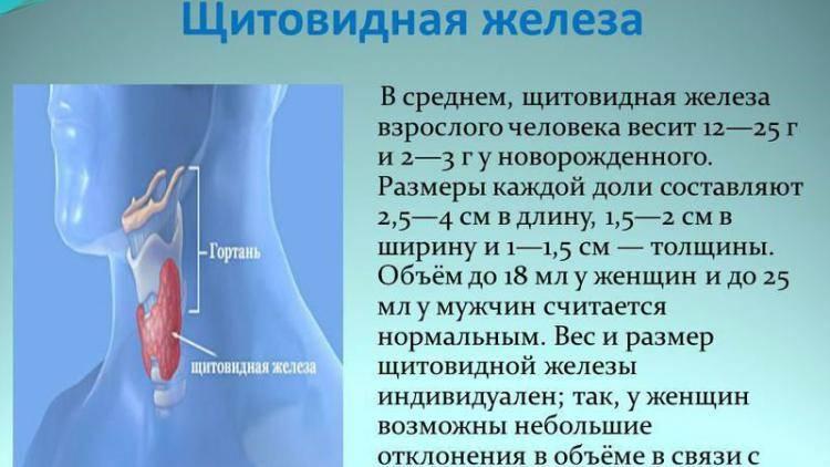 Нормальные размеры и объем щитовидной железы