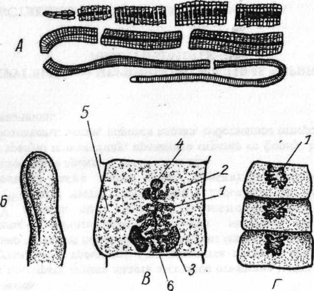 Широкий лентец (diphyllobotrium latum) и дифиллоботриоз у человека: симптомы, диагностика, лечение