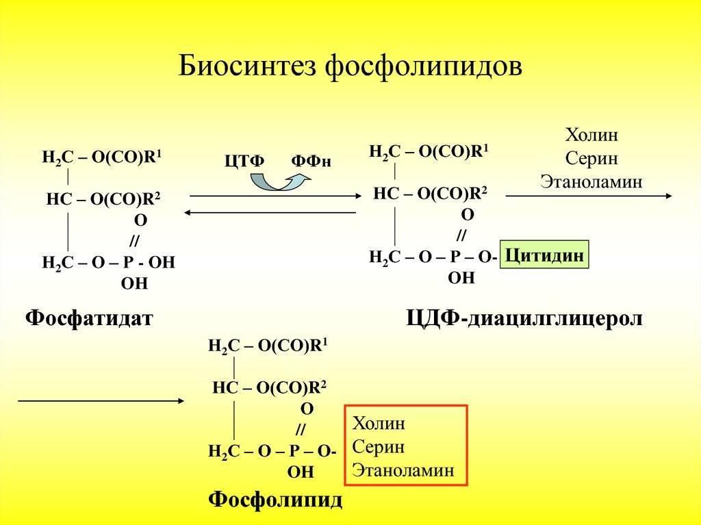 Биосинтез липидов — метаболизм липидов и их роль