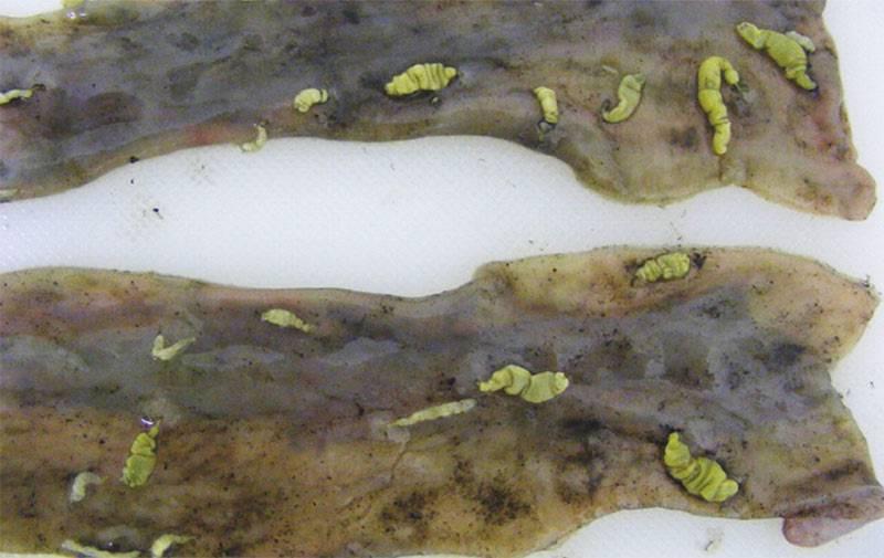 глисты в легких у человека симптомы