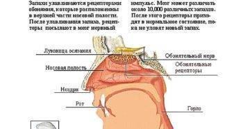 Нос не чувствует запахи: что делать, чем лечить, причины, медицинское название
