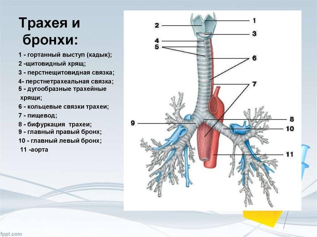 Трахея — википедия. что такое трахея