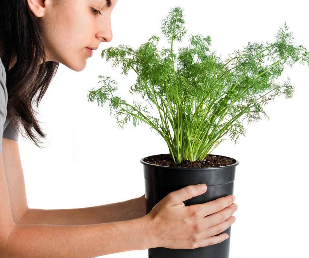 как заварить семена укропа при цистите
