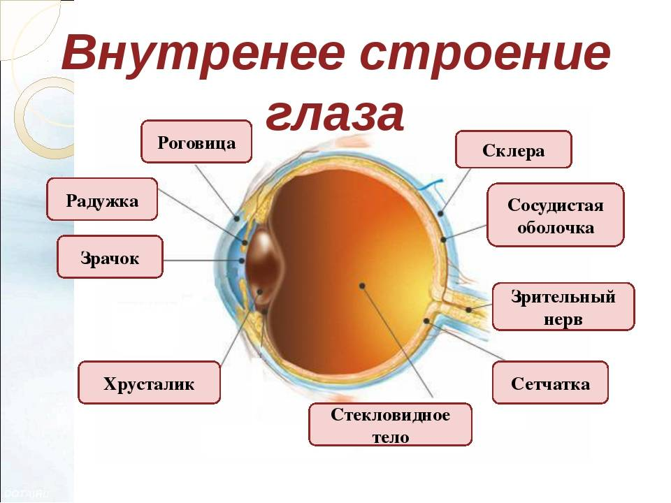 функции роговицы глаза