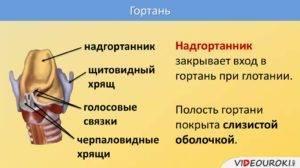 функции надгортанника