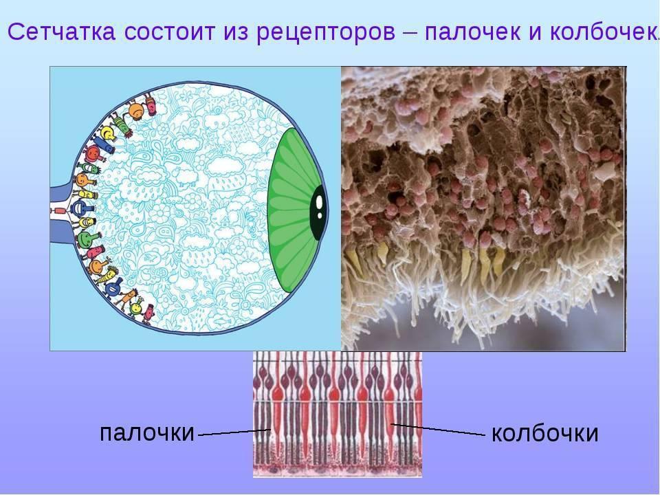 Палочки (сетчатка) — википедия с видео // wiki 2