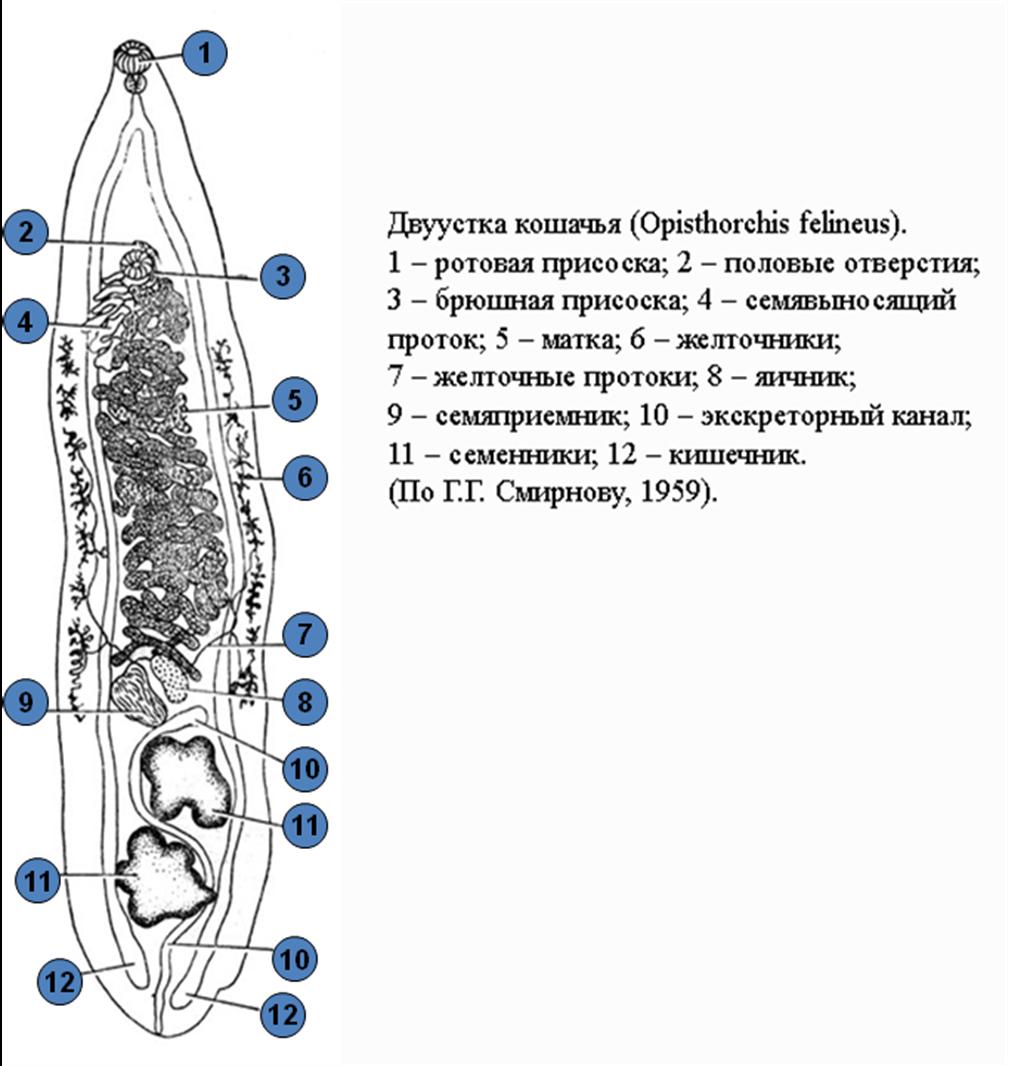 Кошачий сосальщик: жизненный цикл, строение и чем он опасен | все о паразитах