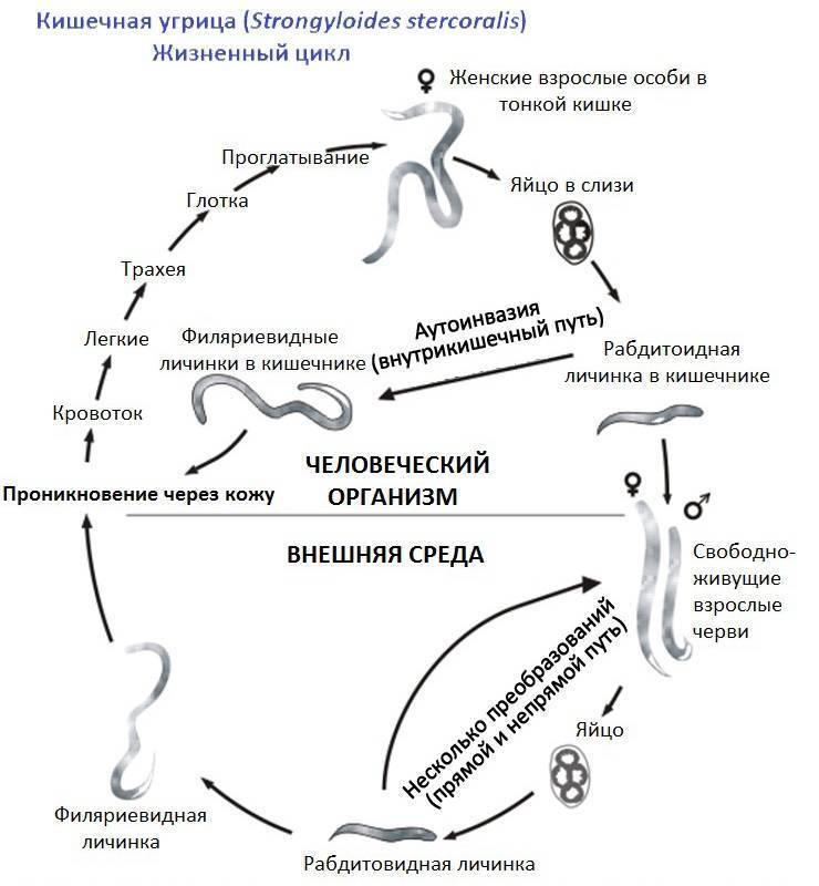 Стронгилоидоз, симптомы, лечение, причины, диагностика