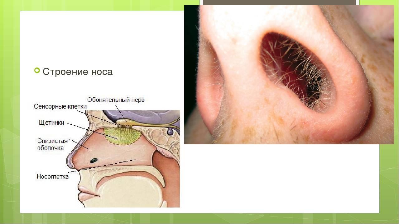 строение носа анатомия