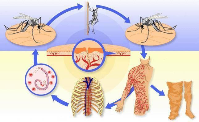 Дирофиляриоз у человека: симптомы, лечение и анализ