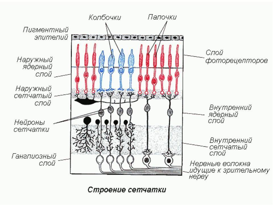 Фоторецепторы – палочки и колбочки