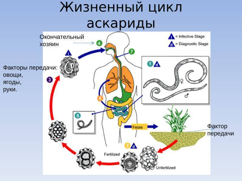 Откуда берутся аскариды в организме человека: продолжительность жизни, способы избавления