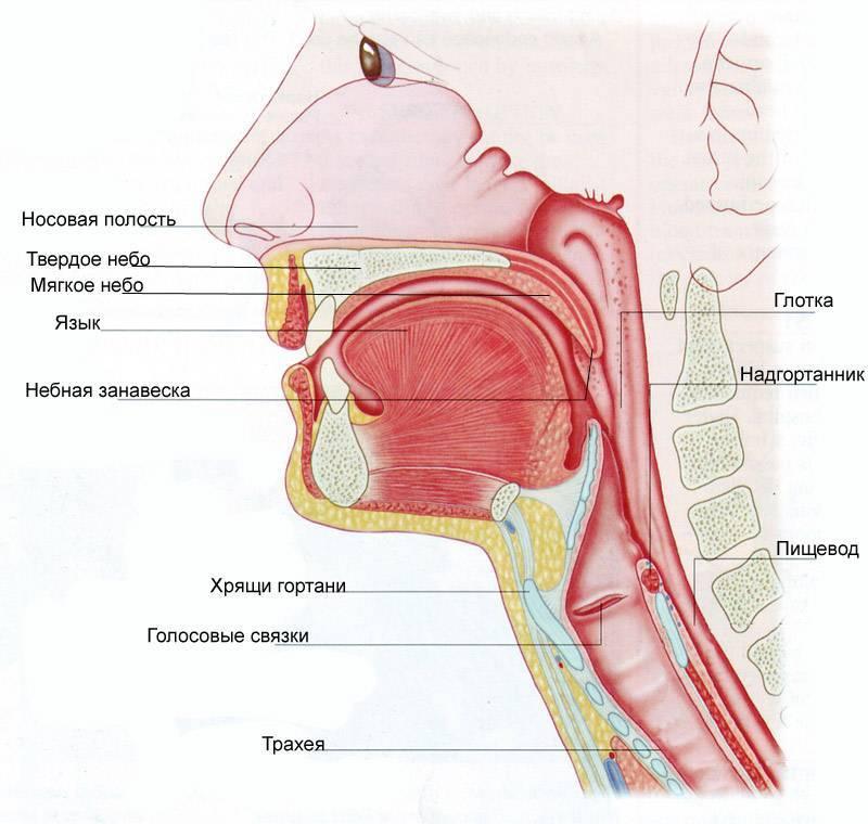 анатомия горла человека