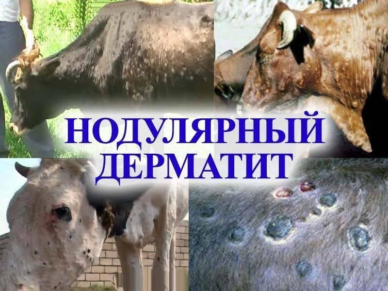 Нодулярный дерматит крупного рогатого скота инструкция