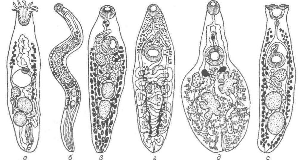 Трематоды: что это, симптомы и лечение (с фото) | все о паразитах