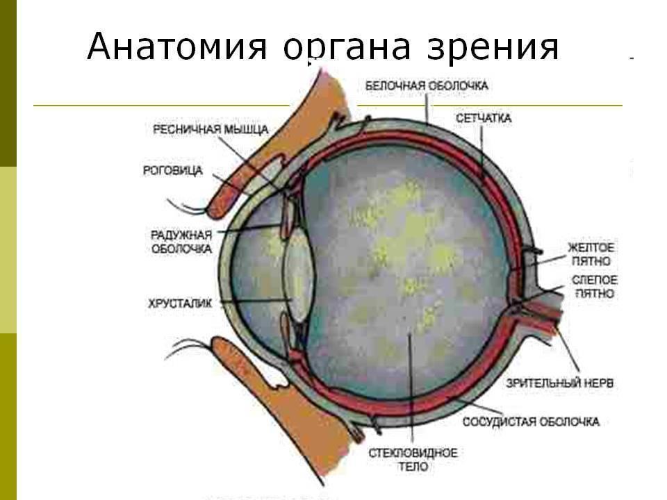 орган зрения анатомия