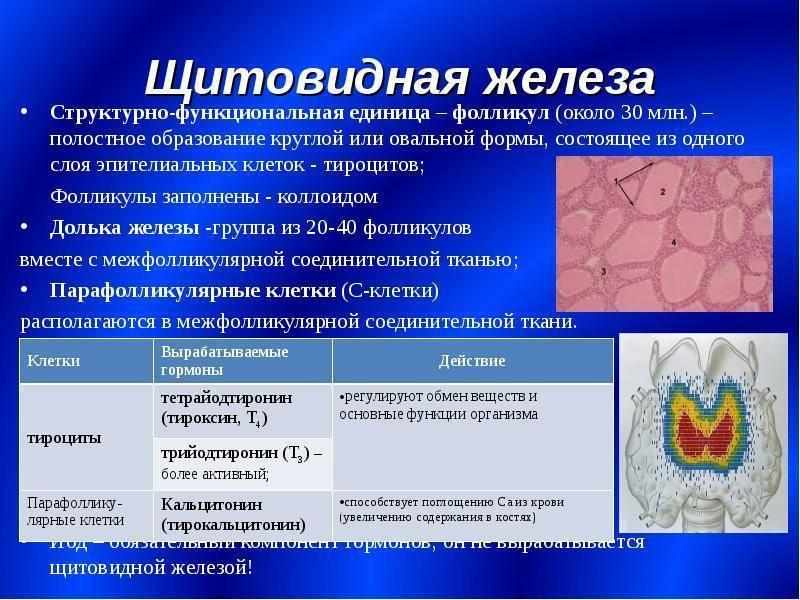 Множественные расширенные фолликулы в щитовидной железе | про щитовидку
