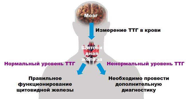 ттг повышен т4 в норме